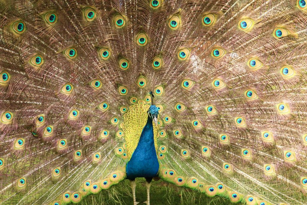 Een blauw met groene pauw die zijn veren spreid