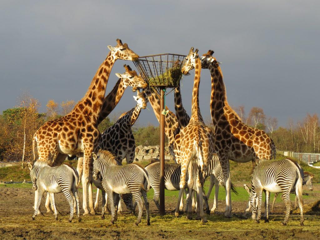 Giraffen en zebra's in een kudde die aan het eten zijn